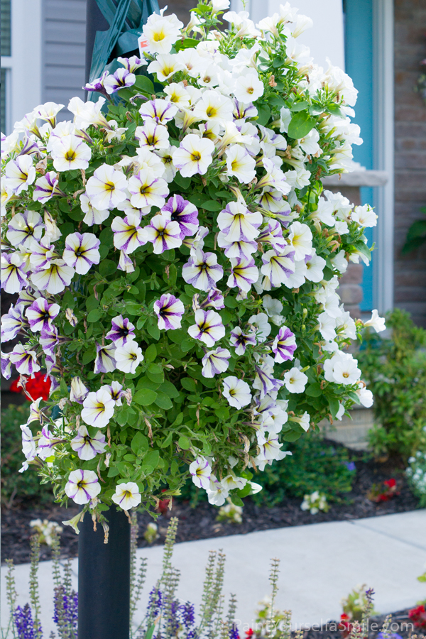 Petunias bags were added to the lamp post as part of the landscape clean up and curb appeal challenge